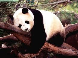 20131127113617-oso-panda.jpg